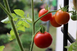die kleinen Dinge des Lebens Tomatenpflanze